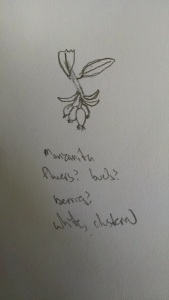 my sketch of the Manzanita flower