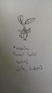 my sketch of the Manzanita flower